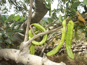 Fig 9 : Immature pods
