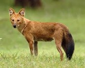 basic information and Habitat information on the Dhole