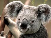 A Picture of a Koala in Australia