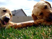 The two dogs have a rendezvous in the backyard to get a bone.