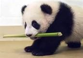 REAL LIFE BABY PANDA