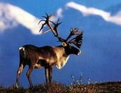 What Is Being Done To Save The Caribou