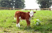 This is a calf