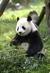 Why the Reason Pandas are Endangered is a Problem