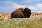 Buffalo Relaxing in tall grass