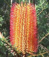 Banksia spp (Banksias)