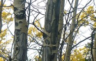 aspen & black spruce