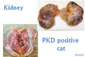Wat is PKD?