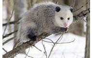 virginia opossum / Didelphis virginiana