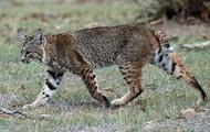 bobcat profile view