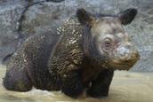 Little baby Rhino!