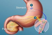 Interaction Between The Muscle System and the Endocrine System