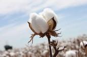 Cotton (natural fiber)