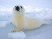 Artic Seal