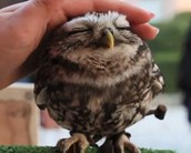 Baby owl getting  petted.Cute!