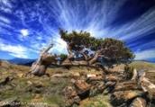 Bristlecone Pine!
