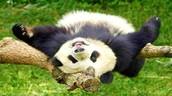 Twerking Panda