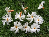Shiuli flowers fell on the grass