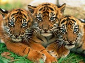 a tigers family
