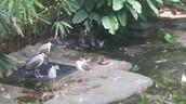 Asheboro Zoo Masked Lapwing