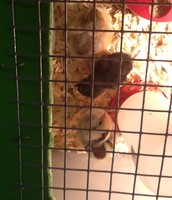 Now Mrs. Unger's class has 3 baby chicks!