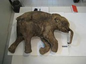 Frozen Baby Mammoth