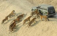 Tigers attacking a car in North Africa