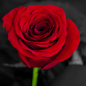 This is a red rose,