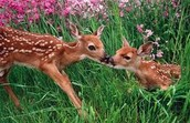 Two fawns in a meadow