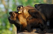 Brown Capuchin Group