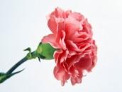 Pretty Carnation