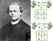 Gregor Mendel and his experiment.