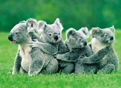 Koala / Koala