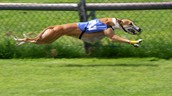 Greyhounds are racing dogs. This is a greyhound racing.