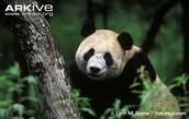 Giant Panda Exploring it's Habitat