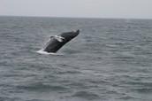 Whales Breaching- Why do Whales Breach?