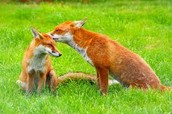 Two little foxes...