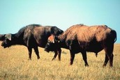 Their main food source was buffalo