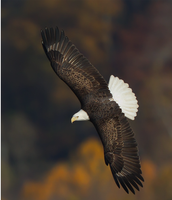 The Eagle flying above trees