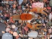 Grandfather Mountain Crayfish (Aquatic)