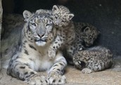 Where snow leopards can be found?