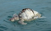 Turtle thrown overboard