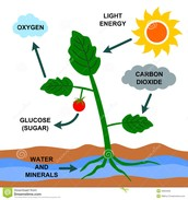 Energy in plants