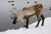A Caribou Drinking
