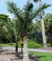 Sargent's Palm