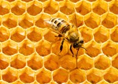 Honey Comb In Hive