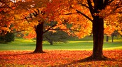 The sugar maple tree