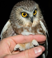 A Northern Saw Whet Owl