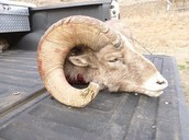 Bighorn Sheep Poaching