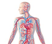 Letter C: Circulatory System